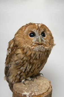 Free Brown Owl Lloking To The Right Top Corner Royalty Free Stock Image - 23190096