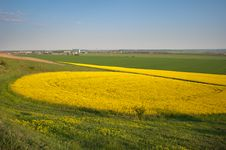 Yellow Field Rapeseed Royalty Free Stock Photos