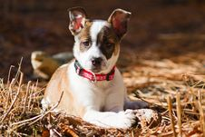 Cattle Dog / Boxer Hybrid Puppy Stock Images