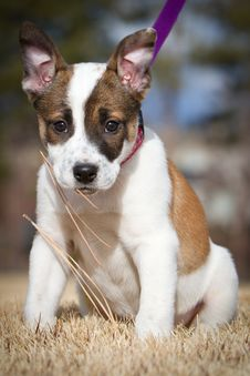 Free Cattle Dog / Toy Fox Terrier Puppy Stock Image - 23192011