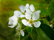 Free Kentish Pear Blossom Stock Photos - 23193823