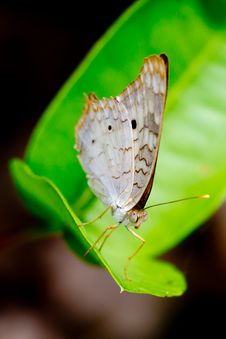 Free White Peacock Butterfly On Sunny Leaf. Stock Photos - 23194983