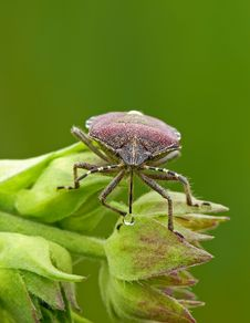 Free Shield Bug Stock Photos - 23196723