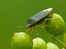 Green Shield Bug Royalty Free Stock Images
