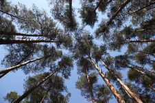 Free Pine Trees Against The Blue Sky Stock Photo - 23198210