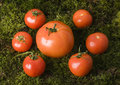 Free Tomatos On The Moss Royalty Free Stock Images - 2321249