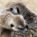 Free Timon In Love (Meercat Couple) Stock Images - 2321464
