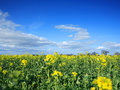 Free Rapeseed Field Royalty Free Stock Photos - 2323088