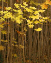 Free Young Maple Trees, Autumn Stock Photography - 2323382