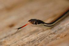 Free Western Ribbon Snake Stock Image - 2320401