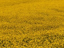 Free Mustard Field Royalty Free Stock Photography - 2320507