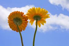 Free Gerberas Royalty Free Stock Photos - 2320558