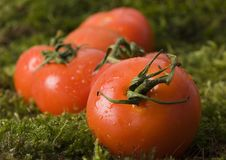 Free Tomatos On The Moss Stock Photography - 2321252