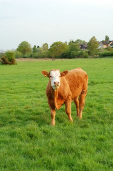 Free Cow In The Meadow Royalty Free Stock Image - 2321286