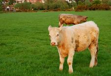 Free Cows Grazing In The Meadow Stock Image - 2321291