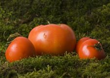 Free Tomatos On The Moss Stock Photography - 2321302