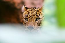 Free Leopard In Hiding Royalty Free Stock Photos - 2321508