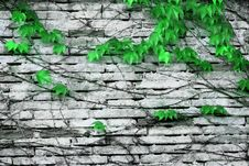 Free Wall With Green Plant Royalty Free Stock Photo - 2323705