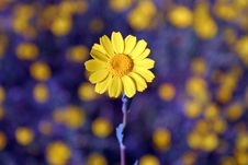 Free Single Yellow Daisy Royalty Free Stock Photography - 2324967