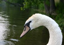 Free Profile Of A Mute Swan Royalty Free Stock Images - 2326169