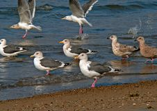 Slaty-backed Gulls Stock Photography
