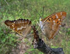 Free Butterflies (Apatura Ilia Royalty Free Stock Photography - 2326407