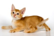 Free Kitten In Studio Royalty Free Stock Image - 2328596