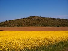 Free Mustard Field And Landscape Royalty Free Stock Photo - 2328845