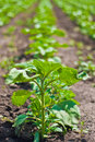Free Potato Plant Royalty Free Stock Photos - 23200568