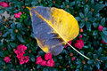 Free A Wet Yellow Leaf Royalty Free Stock Photo - 23206275