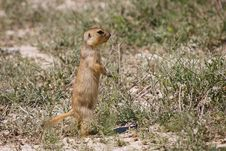 Free Cynomys &x28;Prairie Dog&x29;, Single Onegroundhog, Gopher Royalty Free Stock Photos - 23201298