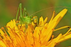 Free Green Locust On Flower Stock Image - 23201791