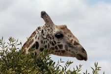 Free A Giraffe In A Bush Royalty Free Stock Photography - 23201797