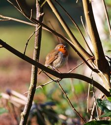 Free Robin Redbreast &x28;Erithacus Rubecula&x29; Stock Photo - 23207190