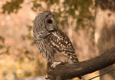 Free Injured Owl Royalty Free Stock Photography - 23209467