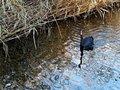 Free Black Swan. Stock Photos - 23213873