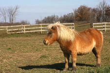 Free Miniature Horse Stock Image - 23210291