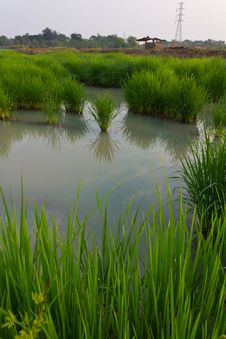 Free Space In The Rice Fields. Royalty Free Stock Image - 23213466