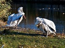 Pelicans On Vacation. Royalty Free Stock Photography
