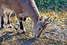 Free Goat. Stock Image - 23213881