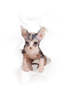 Free Kitten In White Paper Side Torn Hole Royalty Free Stock Images - 23214139