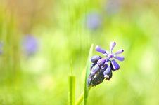 Grape Hyacinth Or  Muscari Armeniacum  Royalty Free Stock Image