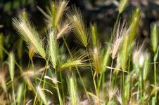 Free Green Wheat Royalty Free Stock Photo - 23219395