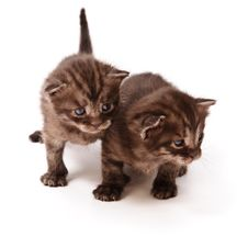 Twins Kittens Royalty Free Stock Photo