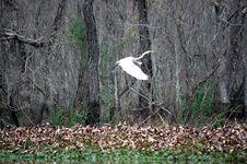 Free Louisiana Crane Royalty Free Stock Photo - 23226225