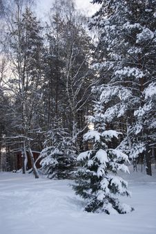 Free Winter Spruce Frorest Landsacpe Royalty Free Stock Image - 23226696