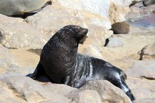 Free Colony Of Seals At Cape Cross Reserve, Namibia Stock Photos - 23228243
