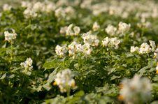 Free Potato Flowers Stock Photos - 23229723