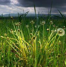 Free Dandelions On The Meadow Royalty Free Stock Images - 23231099