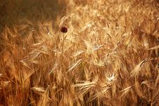 Free Ripe Wheat Field Stock Photos - 23231263